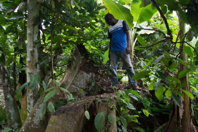 Cocoa farming in Central Region, Ghana