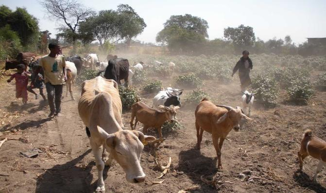 Livestock in Halaba District, Ethiopia